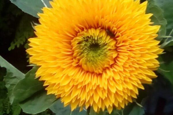16 Benedetto Gobbo - Fiore giallo