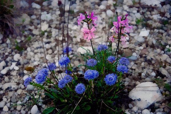 11 Sandro Battistin - Globularia cordifolia